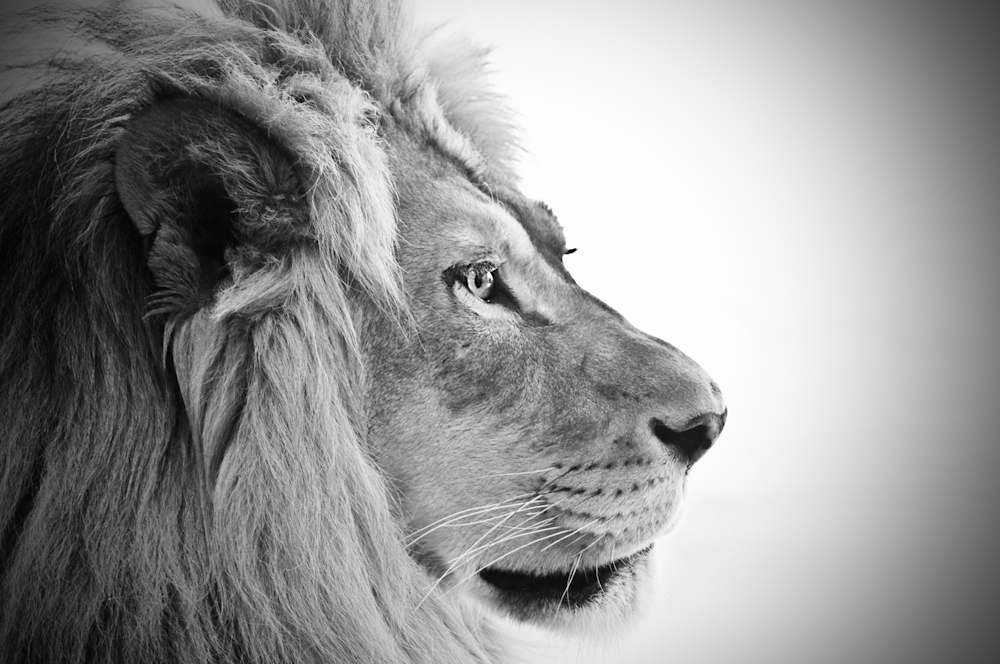 The Confident Lion